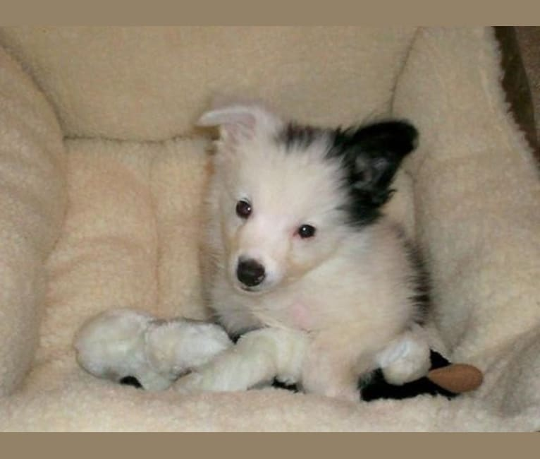 Photo of Duke, a Border Collie and Miniature/MAS-type Australian Shepherd mix in Oklahoma City, OK, USA