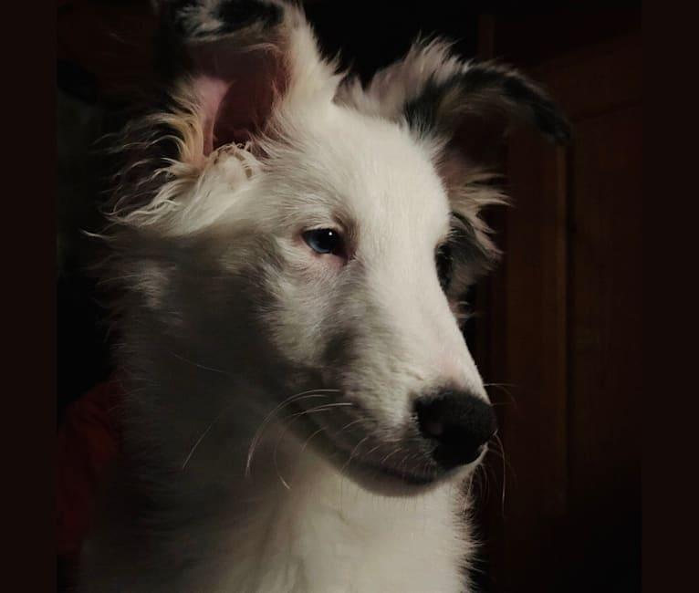 Photo of Dash, a Shetland Sheepdog  in Oklahoma, USA