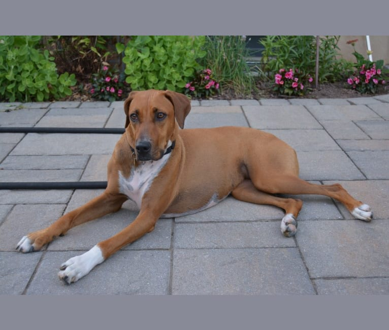 Photo of Lexi, a Doberman Pinscher and Boxer mix in Somerville, New Jersey, USA