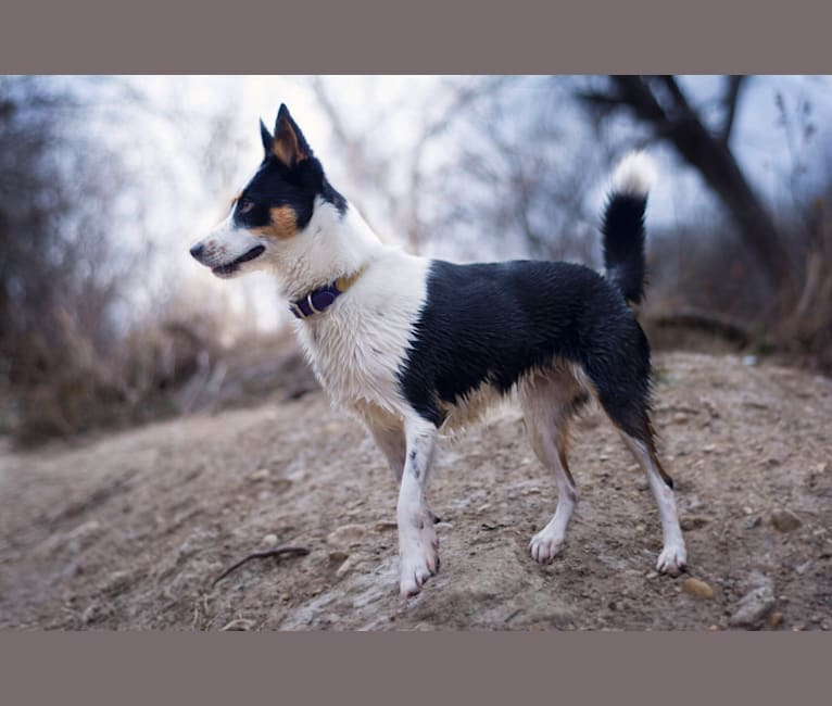 Photo of Fable, an Australian Cattle Dog and Siberian Husky mix in Austin, Texas, USA