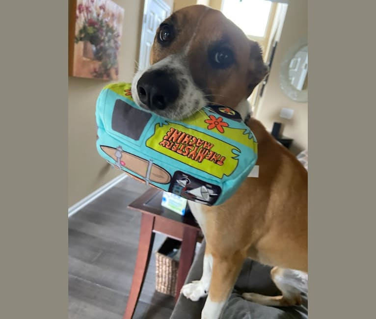 Photo of Charlie, a Mountain Cur, Shih Tzu, and Mixed mix in Michigan, USA