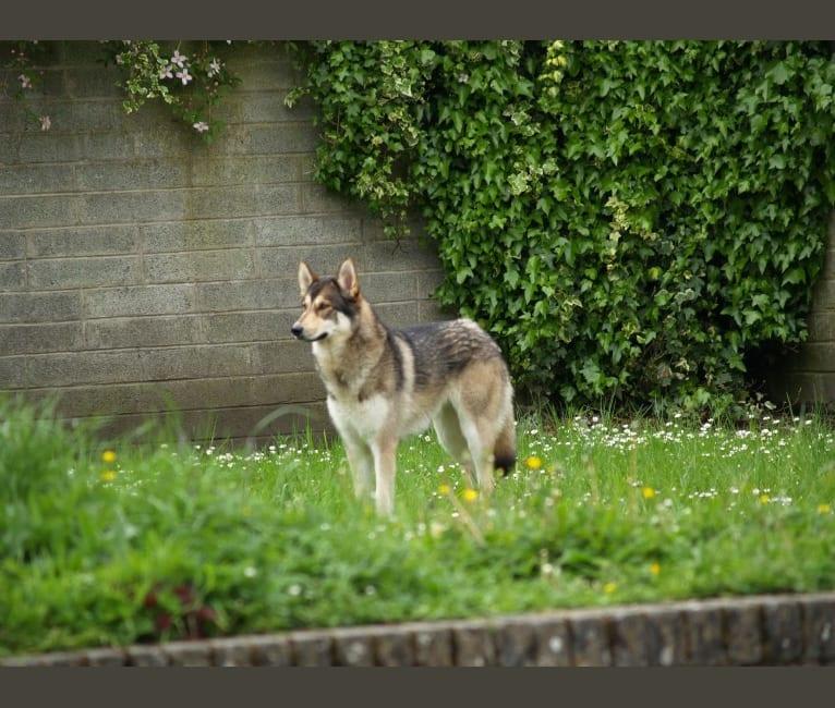Photo of Kalen, a German Shepherd Dog, Siberian Husky, and Alaskan Malamute mix in Camolin, County Wexford, Ireland