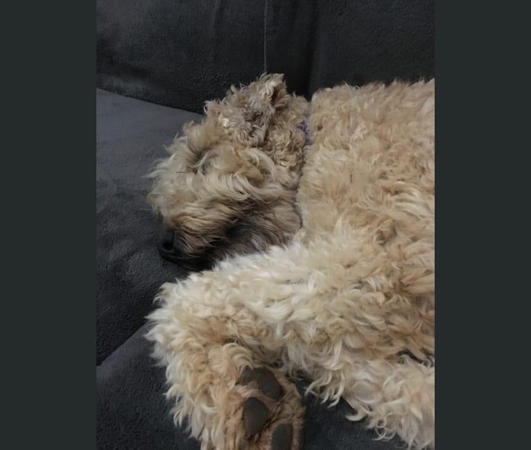 Photo of Bentley, a Soft Coated Wheaten Terrier  in 23 Misty Lane, Buffalo, MO, USA