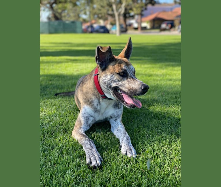 Photo of Maxwell, a Siberian Husky, American Pit Bull Terrier, and Mixed mix in Bellflower, California, USA