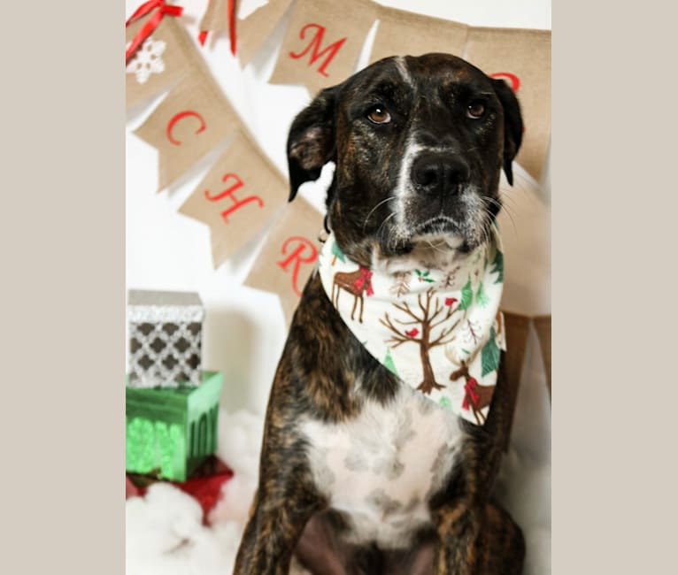 Photo of Whatley, an Irish Setter, American Pit Bull Terrier, Labrador Retriever, and Mixed mix in Longview, Texas, USA