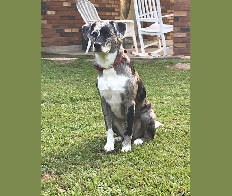 Photo of Katie, an American Pit Bull Terrier, Australian Cattle Dog, Beagle, Collie, and Bulldog mix in Picayune, Mississippi, USA