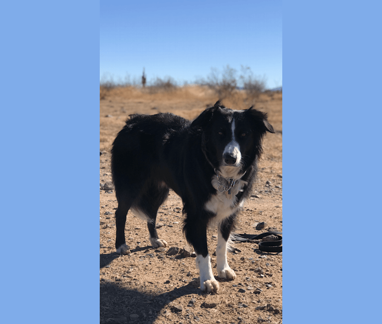 Photo of Tripp, an Australian Shepherd Group  in Cave Creek, Arizona, USA