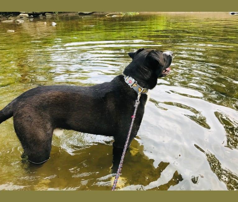 Photo of Gus Gus, an American Bulldog, Siberian Husky, and Labrador Retriever mix