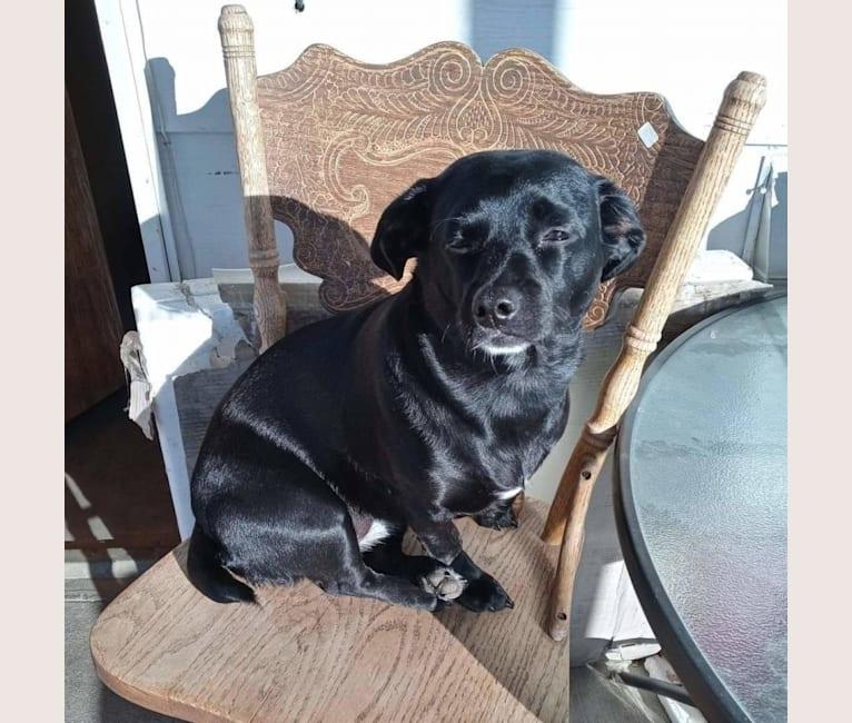 Photo of Kona, a Dachshund, Shih Tzu, Cocker Spaniel, and Chihuahua mix in Moses Lake, Washington, USA