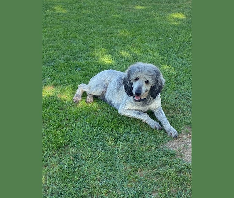 Photo of Josie, a Poodle (Standard)