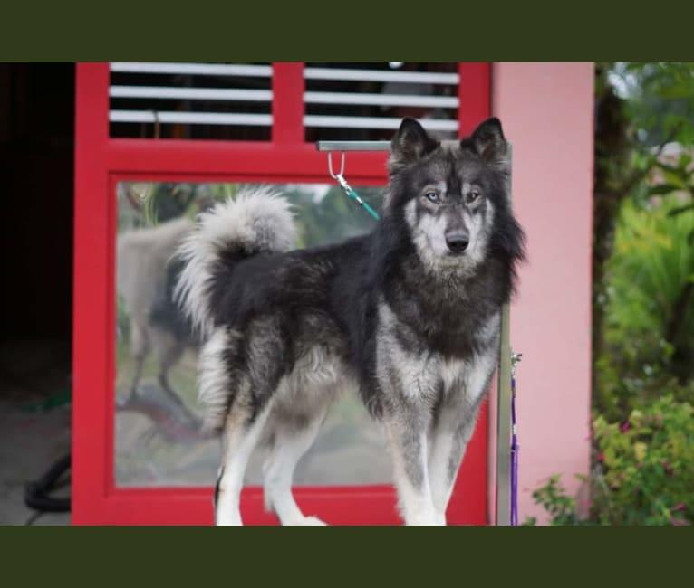 Photo of Imperathor, a Siberian Husky  in USA