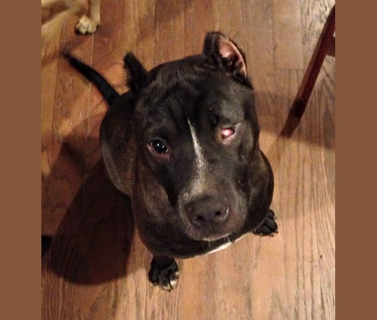 Photo of Charlie, an American Pit Bull Terrier and American Bulldog mix in Rockwall, Texas, USA