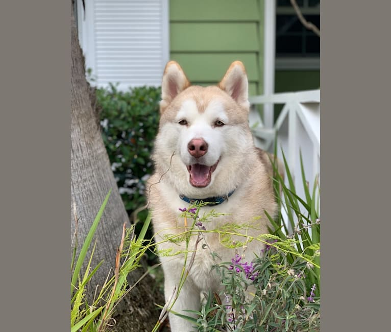 Photo of Mr. Bear, a Siberian Husky and German Shepherd Dog mix in Los Angeles, California, USA