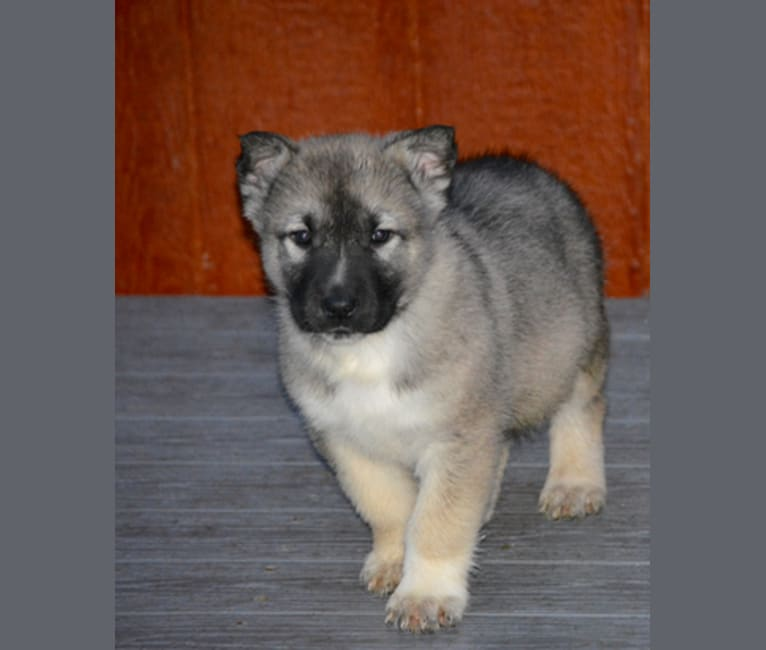 Photo of Murdoch, an Alaskan Malamute and German Shepherd Dog mix