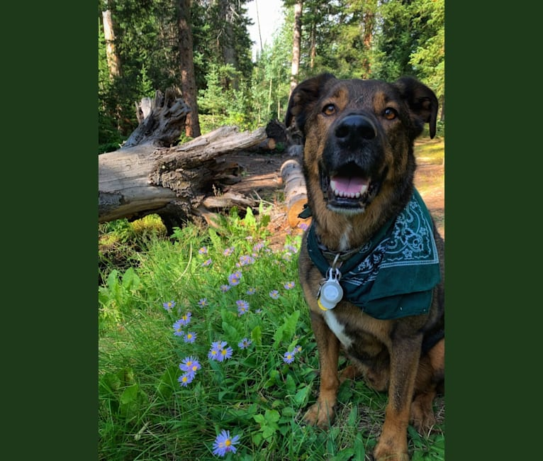 Photo of Rocko, a Labrador Retriever, Russell-type Terrier, Australian Cattle Dog, and Mixed mix in Fort Collins, Colorado, USA