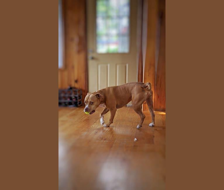 Photo of Bella, an American Bully