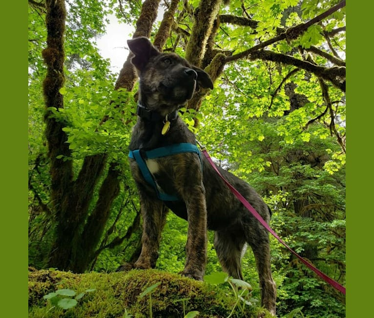 Photo of Iris, an Australian Cattle Dog, Rottweiler, Siberian Husky, American Pit Bull Terrier, Border Collie, and Mixed mix in Madras, Oregon, USA