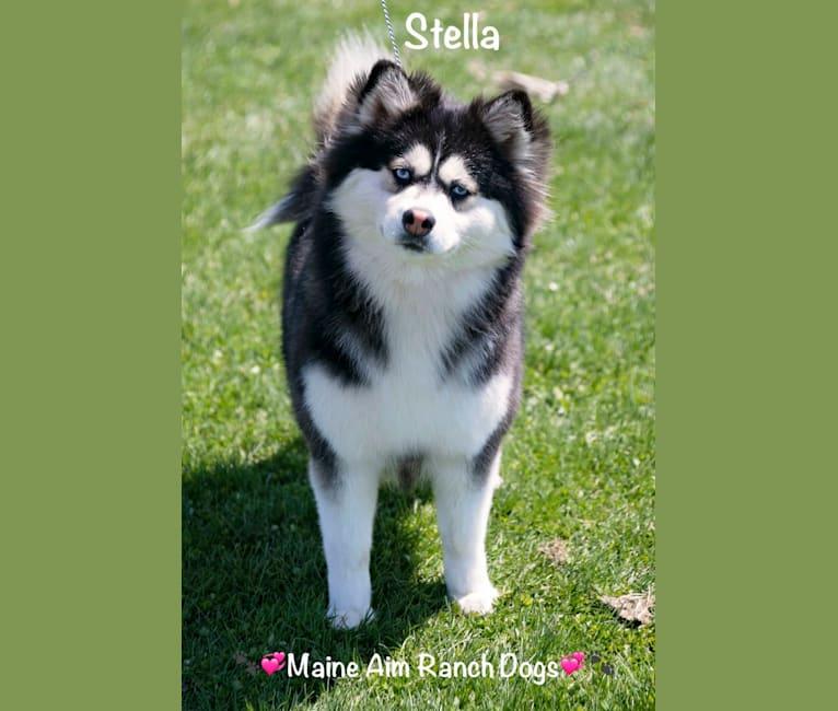 Photo of Stella, a Siberian Husky and Pomeranian mix in Iowa, USA