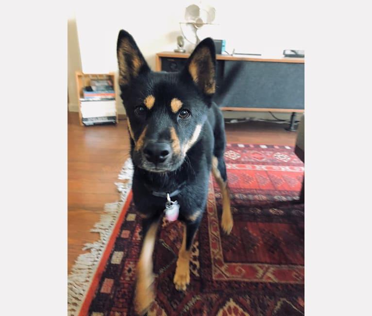 Photo of Ekko, a Japanese and Korean Village Dog and Jindo mix in Plano, Texas, USA