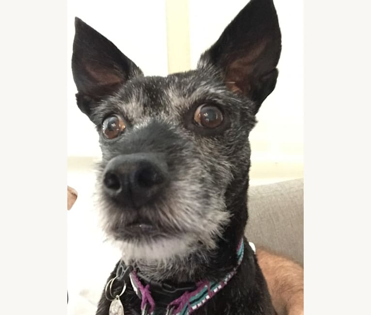 Photo of Sophie, a West Highland White Terrier, Pug, Miniature Pinscher, Chihuahua, and Miniature Schnauzer mix in Tomball, TX, USA