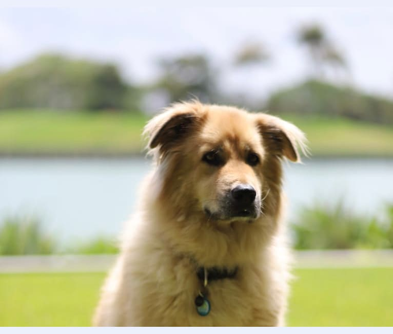 Photo of Max, a Chow Chow, American Pit Bull Terrier, German Shepherd Dog, and Mixed mix in Miami Beach, Florida, USA