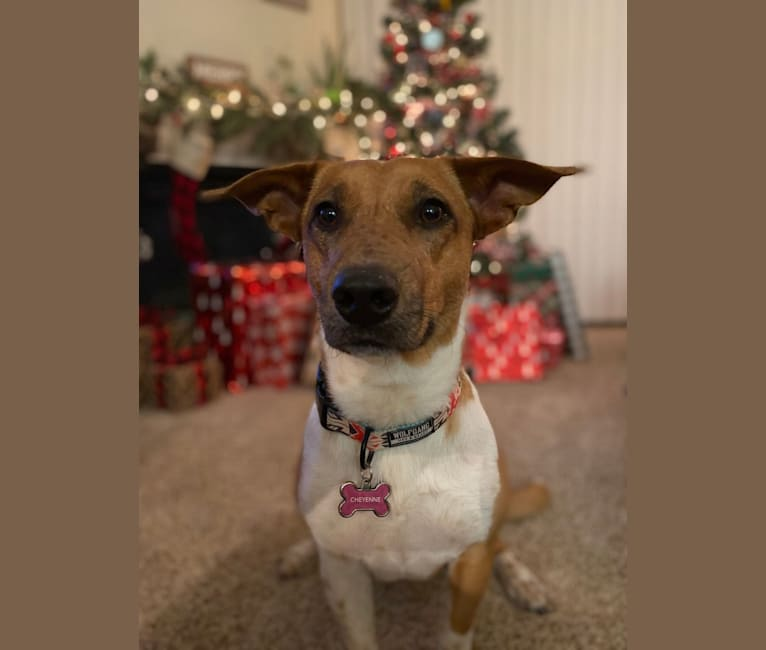 Photo of Cheyenne, an Australian Cattle Dog and American Pit Bull Terrier mix in Texas, USA