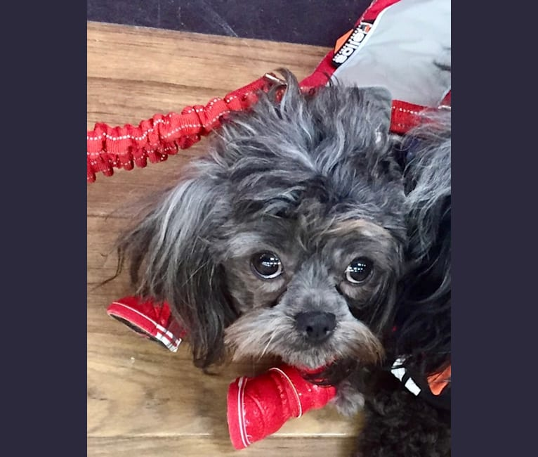 Photo of Azul, a Shihpoo (4.2% unresolved) in Calvin, Ontario, Canada