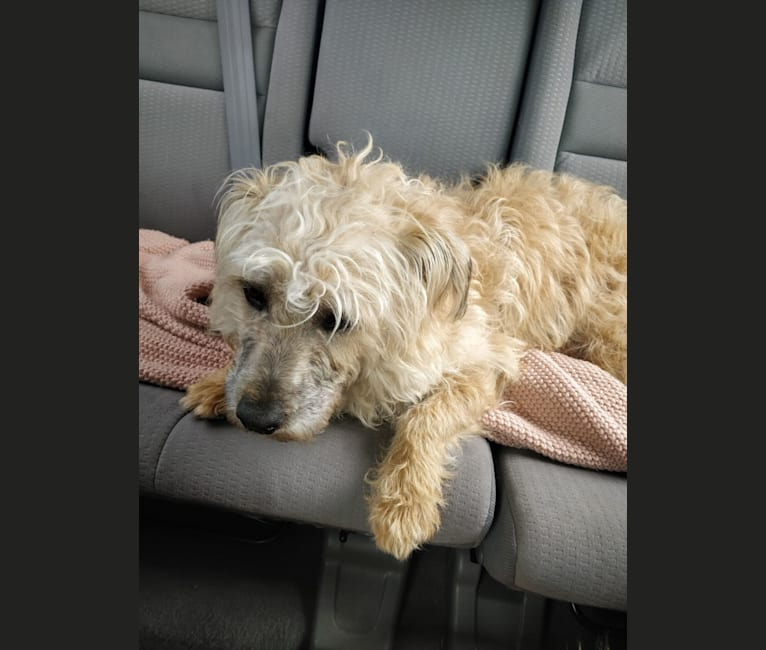 Photo of Blue, a Poodle (Small), Rottweiler, American Pit Bull Terrier, and Mixed mix in Claremont, California, USA