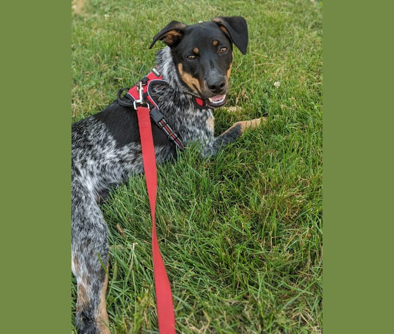 Photo of Bodie, an Australian Cattle Dog, Rat Terrier, Dachshund, Beagle, American Pit Bull Terrier, and Mixed mix in Mississippi, USA