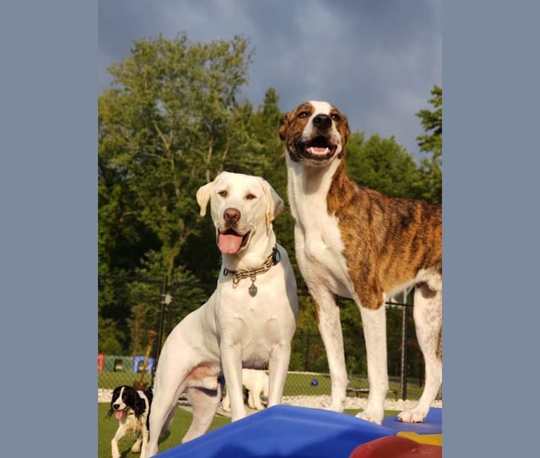 Photo of Finn, a Great Pyrenees, English Shepherd, American Pit Bull Terrier, American Bulldog, and Mixed mix in Charlotte, North Carolina, USA