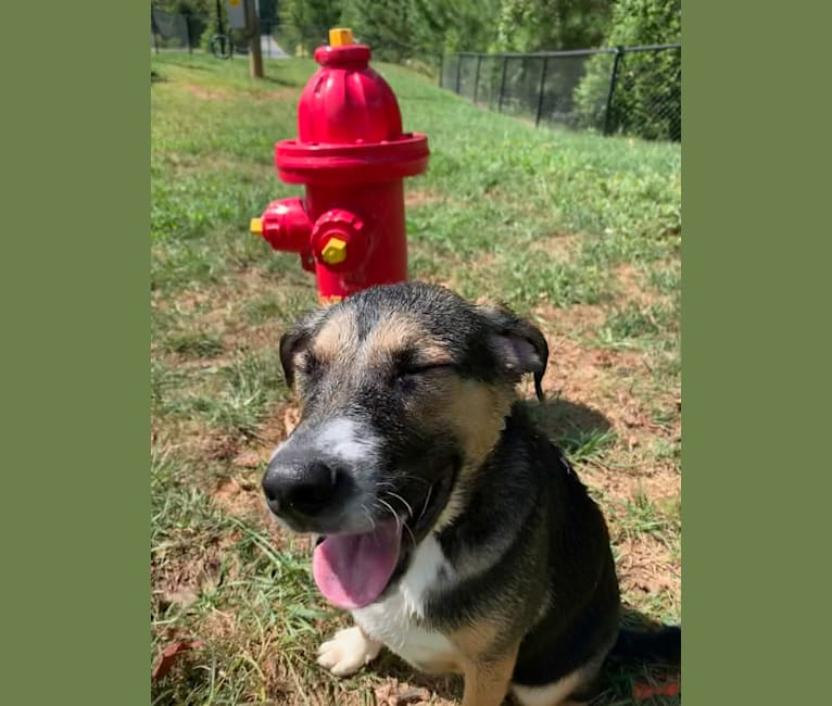 Photo of Winston (Winnie), a Beagle, Labrador Retriever, Siberian Husky, American Staffordshire Terrier, Chow Chow, and Mixed mix in Raleigh, North Carolina, USA