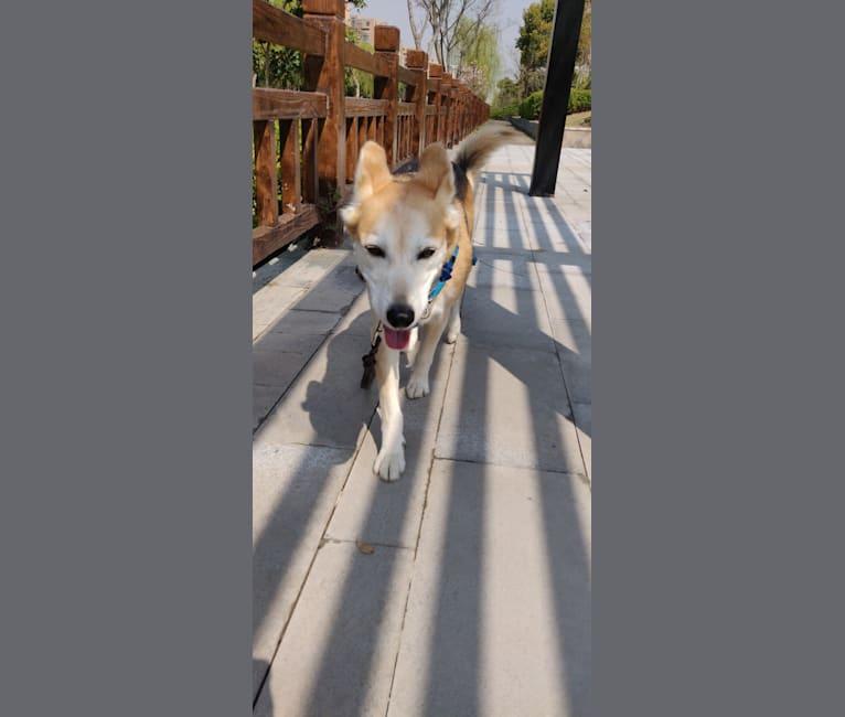 Photo of Mushski, an Alaskan-type Husky and Golden Retriever mix in Sacramento, California, USA