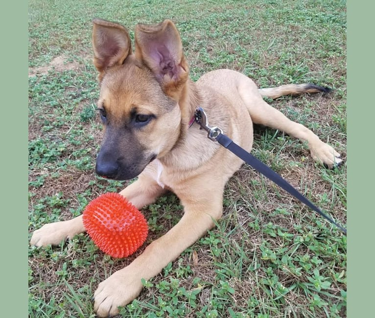 Photo of Max, a German Shepherd Dog and Rat Terrier mix in Pace, Florida, USA