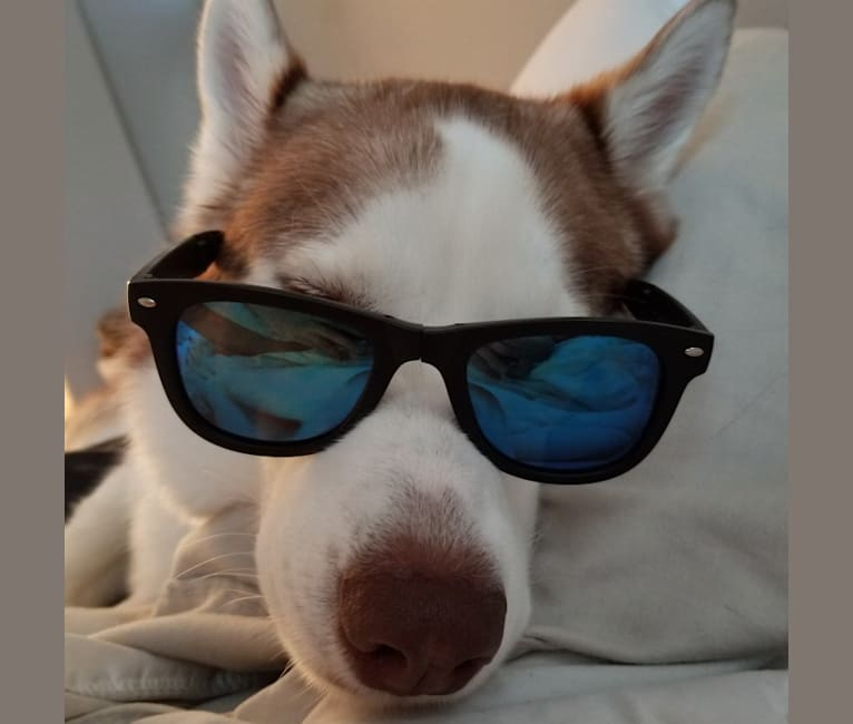 Photo of Penny, a Siberian Husky and Alaskan Malamute mix in San Diego, California, USA