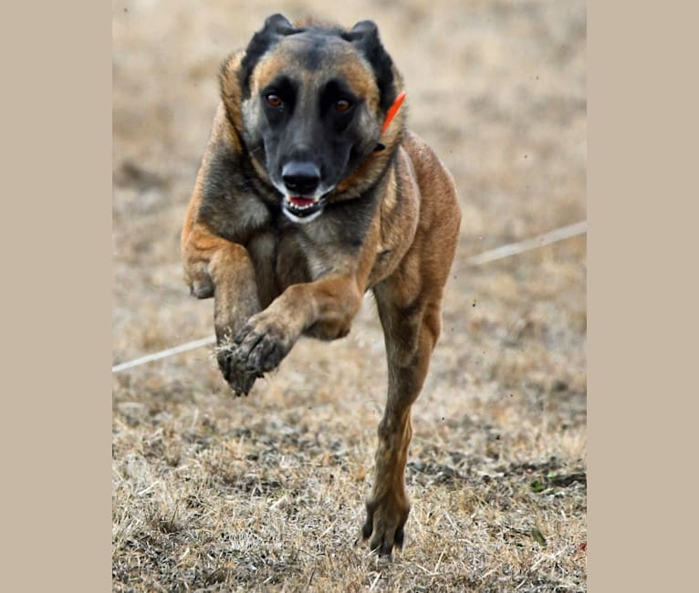 Photo of Nyx, a Belgian Shepherd  in El Paso, TX, USA