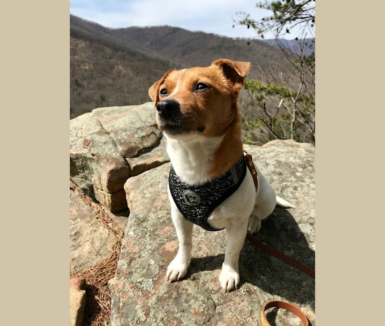 Photo of Reese, a Russell-type Terrier, Yorkshire Terrier, Chihuahua, and Beagle mix in Virginia, USA