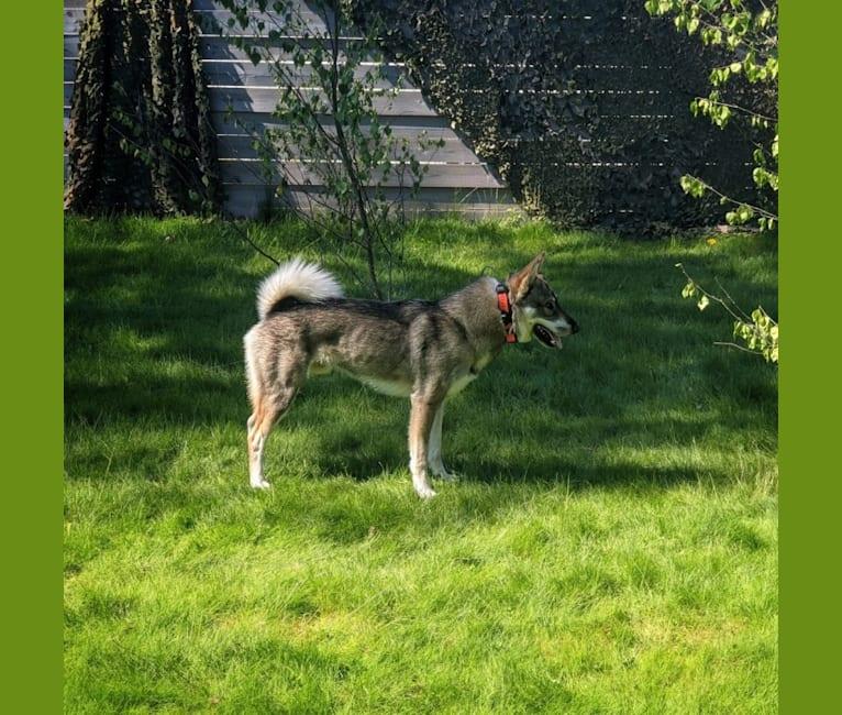 Photo of Bark, a West Siberian Laika  in Sweden