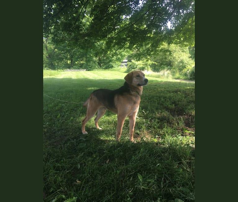 Photo of Summit, a German Shepherd Dog, Labrador Retriever, American Pit Bull Terrier, and Siberian Husky mix in New York, USA