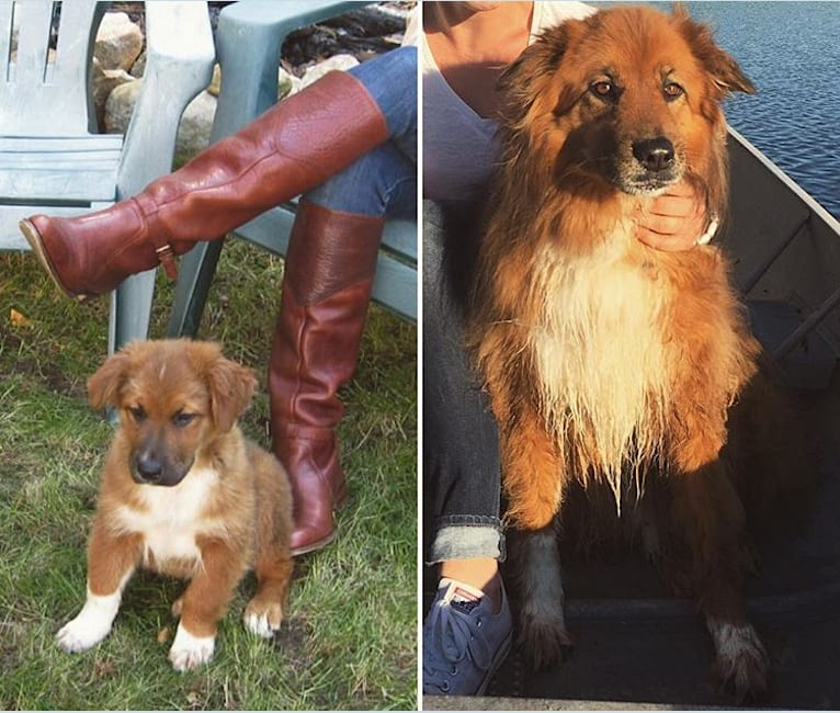 Photo of Huxley, a Chow Chow, Rottweiler, Australian Cattle Dog, Boston Terrier, and Mixed mix in Tennessee, USA