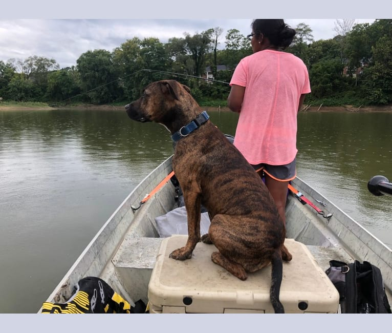 Photo of Roscoe, an American Pit Bull Terrier, Rottweiler, Cocker Spaniel, and American Staffordshire Terrier mix in Leavenworth, Indiana, USA
