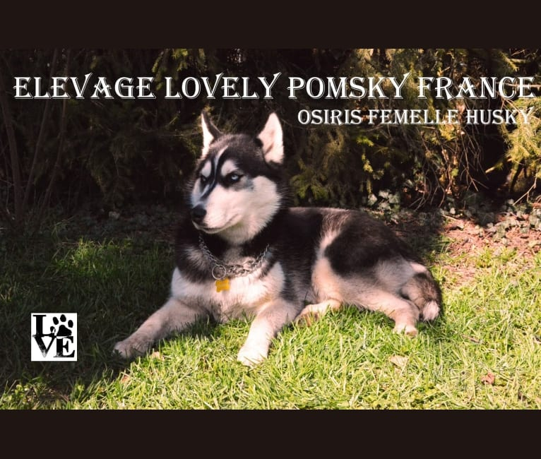 Photo of OSI, a Siberian Husky  in Gripport, France