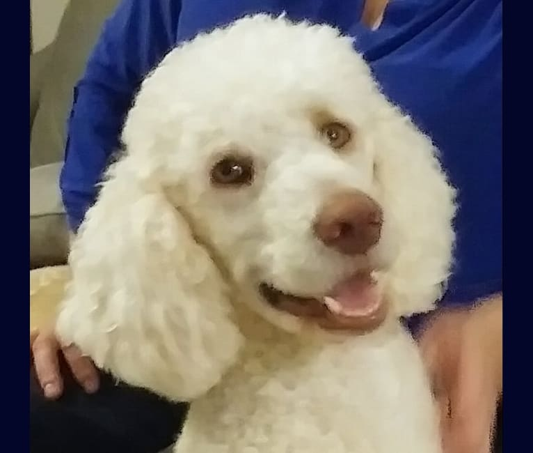 Photo of Nunn's Sugar Rose, a Poodle (Standard)  in Rock Hill, SC, USA