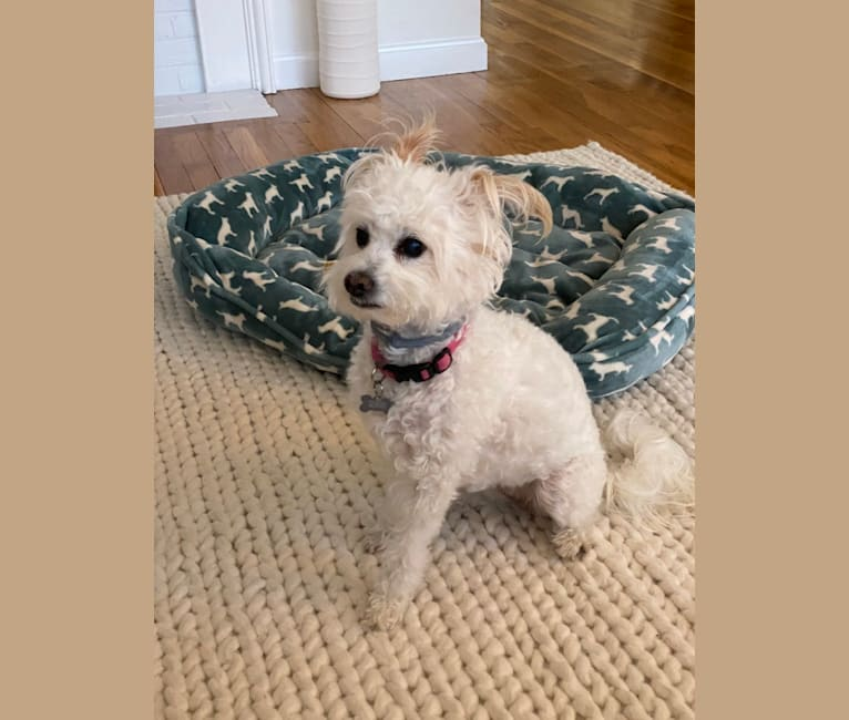 Photo of Buca, a Poodle (Small), Pekingese, and Mixed mix in Massachusetts, USA