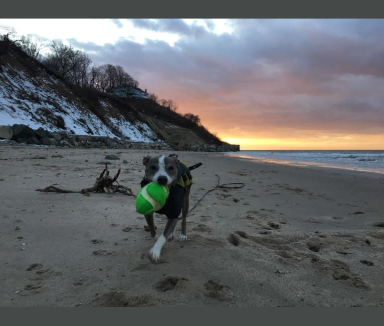 Photo of Rocko, an American Pit Bull Terrier  in Sound Beach, New York, USA