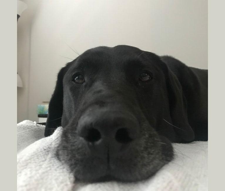 Photo of Riker, a Labrador Retriever, Chow Chow, German Shepherd Dog, Dalmatian, and Mixed mix in Atlanta, Georgia, USA