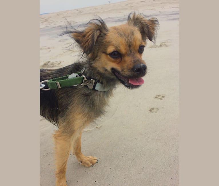 Photo of Roman, a Chihuahua and Miniature Schnauzer mix in Trenton, New Jersey, USA