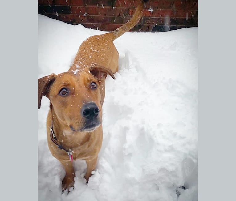 Photo of Detective Jake Peralta, an American English Coonhound, Australian Cattle Dog, Labrador Retriever, and Rottweiler mix in Missouri, USA