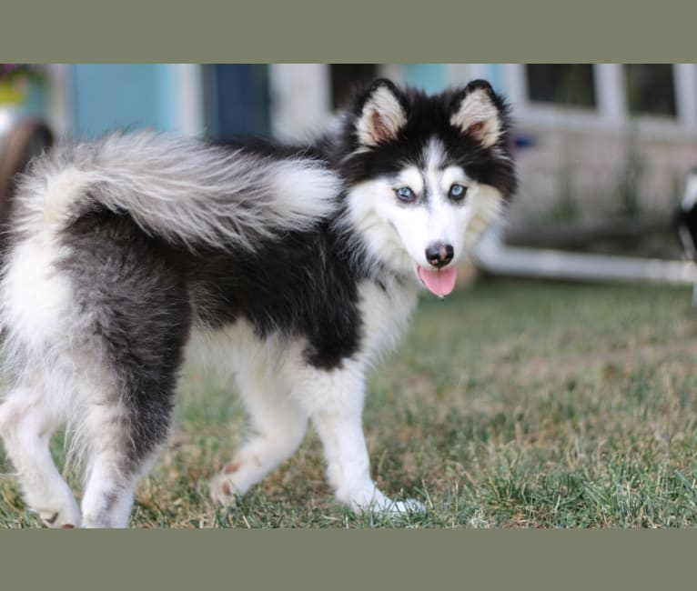 Photo of Pongo, a Siberian Husky and Pomeranian mix