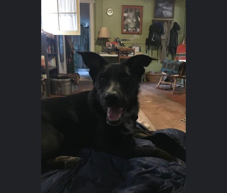 Photo of Acacia, an Australian Cattle Dog, German Shepherd Dog, and American Bully mix
