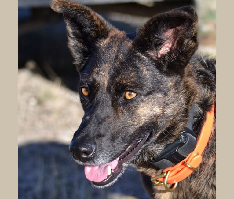 Photo of Dutchie, a German Shepherd Dog and Chow Chow mix in Riverside, CA, USA